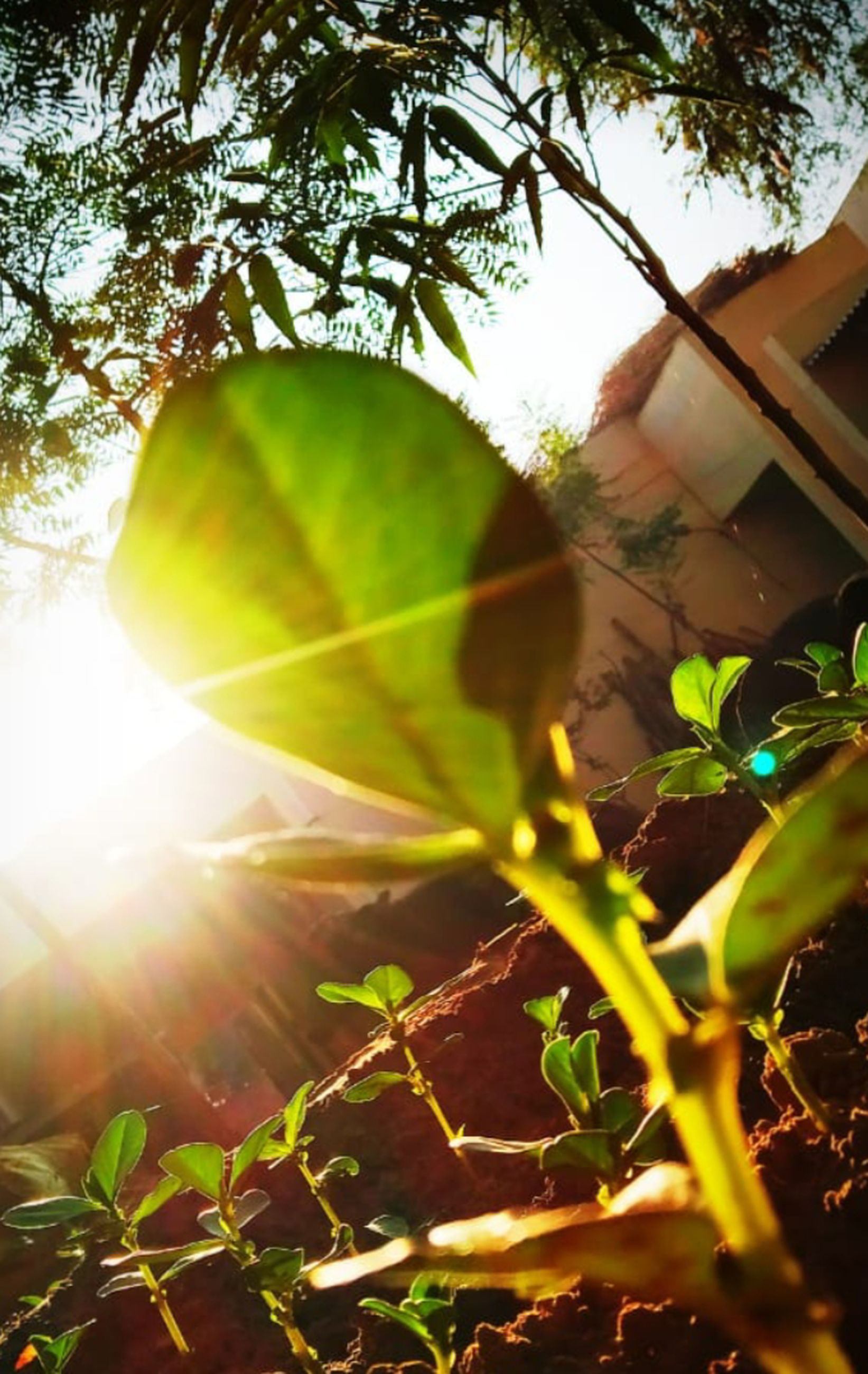 sunlight, plant, nature, leaf, green, light, yellow, tree, growth, lens flare, plant part, branch, flower, autumn, sunbeam, sky, sun, no people, back lit, outdoors, beauty in nature, day, low angle view, land, agriculture, food