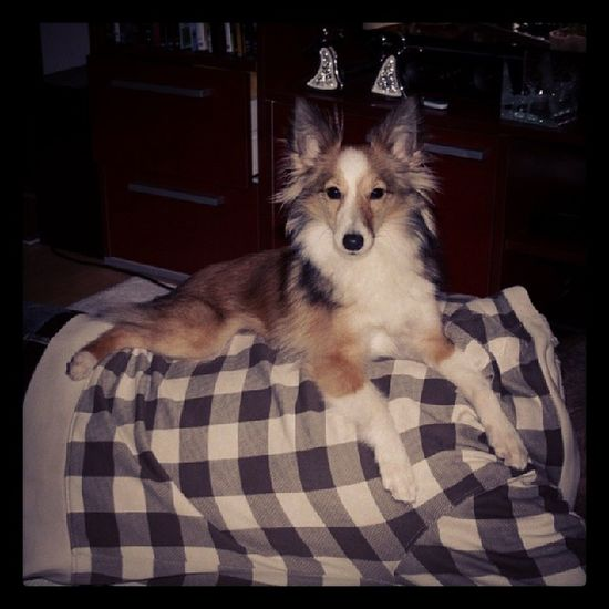 Nowhere as comfortable as on top of daddy. Sheltie Sheltiemix Muttstagram Muttsofinstagram mutt cute maggiemcfluff comfortable dog