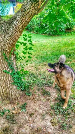 EyeEm Nature Lover TreePorn My Dogs Are Cooler Than Your Kids The K9GB Enforcer Training Day RePicture Learning Eye On The Prize Who's Afraid Of The Big, Bad Wolf?