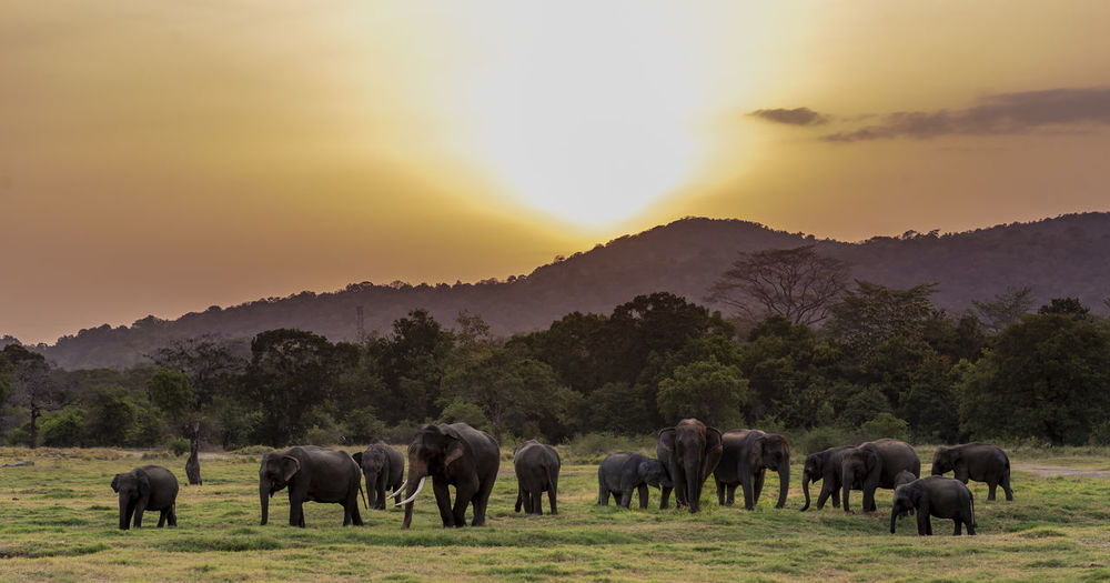 Elephants walking on field during sunset