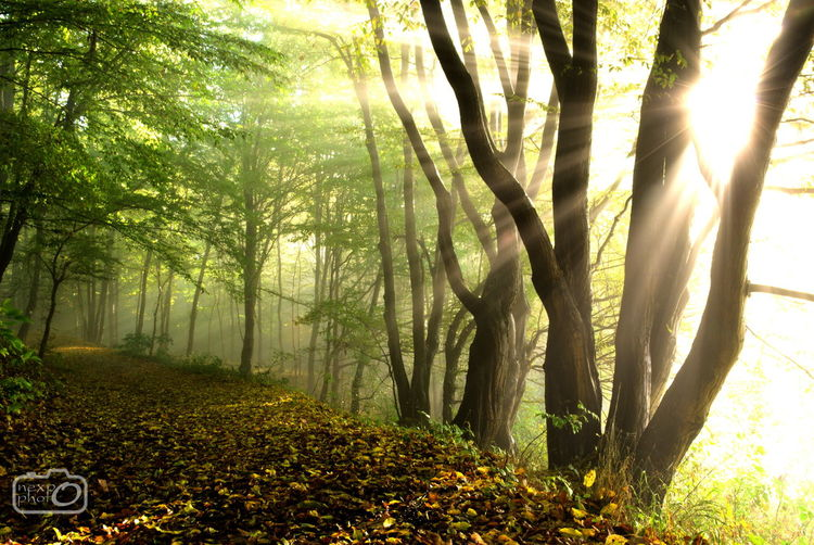 Morning in forest. Beauty In Nature Day Environment Fog Forest Green Growth Landscape Mist Misty Morning Morning Nature Nature Nature_collection No People Outdoors Plant Sun Sunlight Sunlight Sunrise Sunset Tree First Eyeem Photo