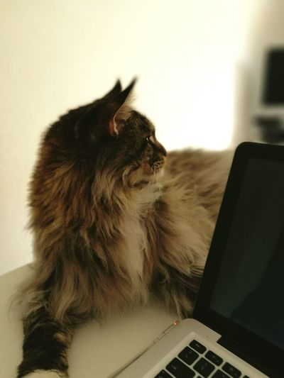 Laptop One Animal Domestic Cat Animal Themes Computer Monitor Domestic Animals Mainecoon Maine Coon Mainecooncats