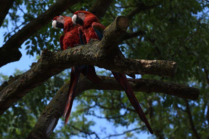 Bird Photography Bird Red Parrots Of Eyeem Parrot Lover Parrot Zoo Wildlife Wildlife Photography Wildlife & Nature Macaw Macaw Parrot Macaws Macaw Red Scarlet Scarlet Macaw Perching Perched Perching Bird Perched Bird Perched On A Branch Perching On A Branch