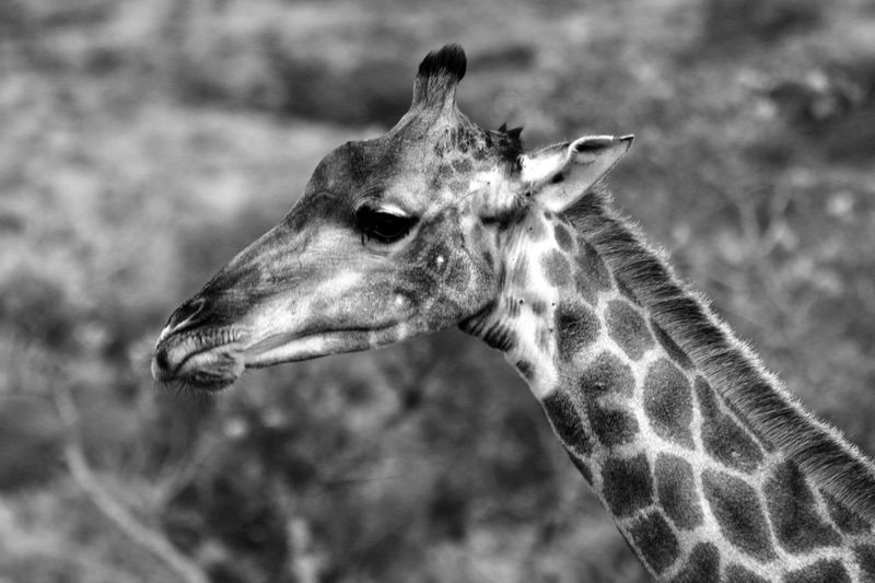 Black an white giraffe Animalphotography South Africa Hluhluwe Giraffe One Animal Animals In The Wild Animal Themes Animal Wildlife Mammal Focus On Foreground Day No People Outdoors Close-up Nature