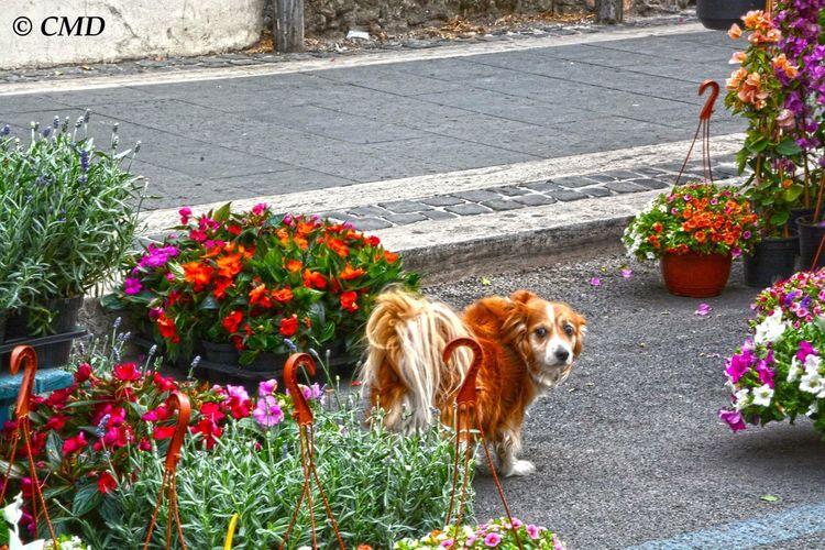 Genzano Infiorata Dog Flowers