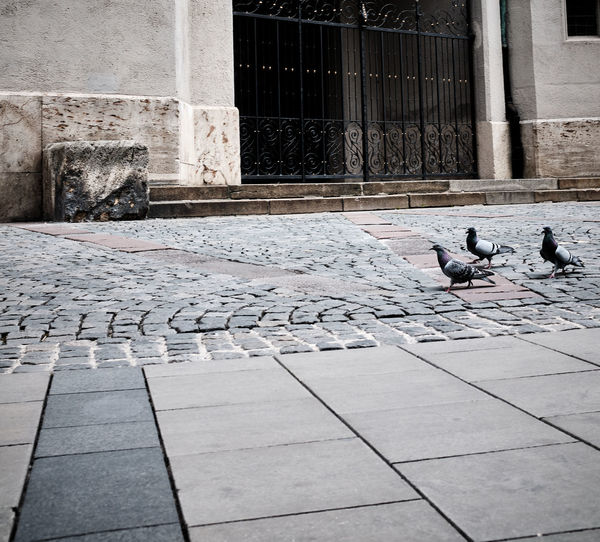 Pigeons perching on a footpath