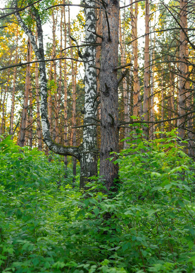 Trees Beauty In Nature Birch Tree Day Environment Forest Green Color Growth Land Leaf Nature No People Outdoors Pine Tree Plant Plant Part Siberia Tranquility Tree Tree Trunk Trunk WoodLand
