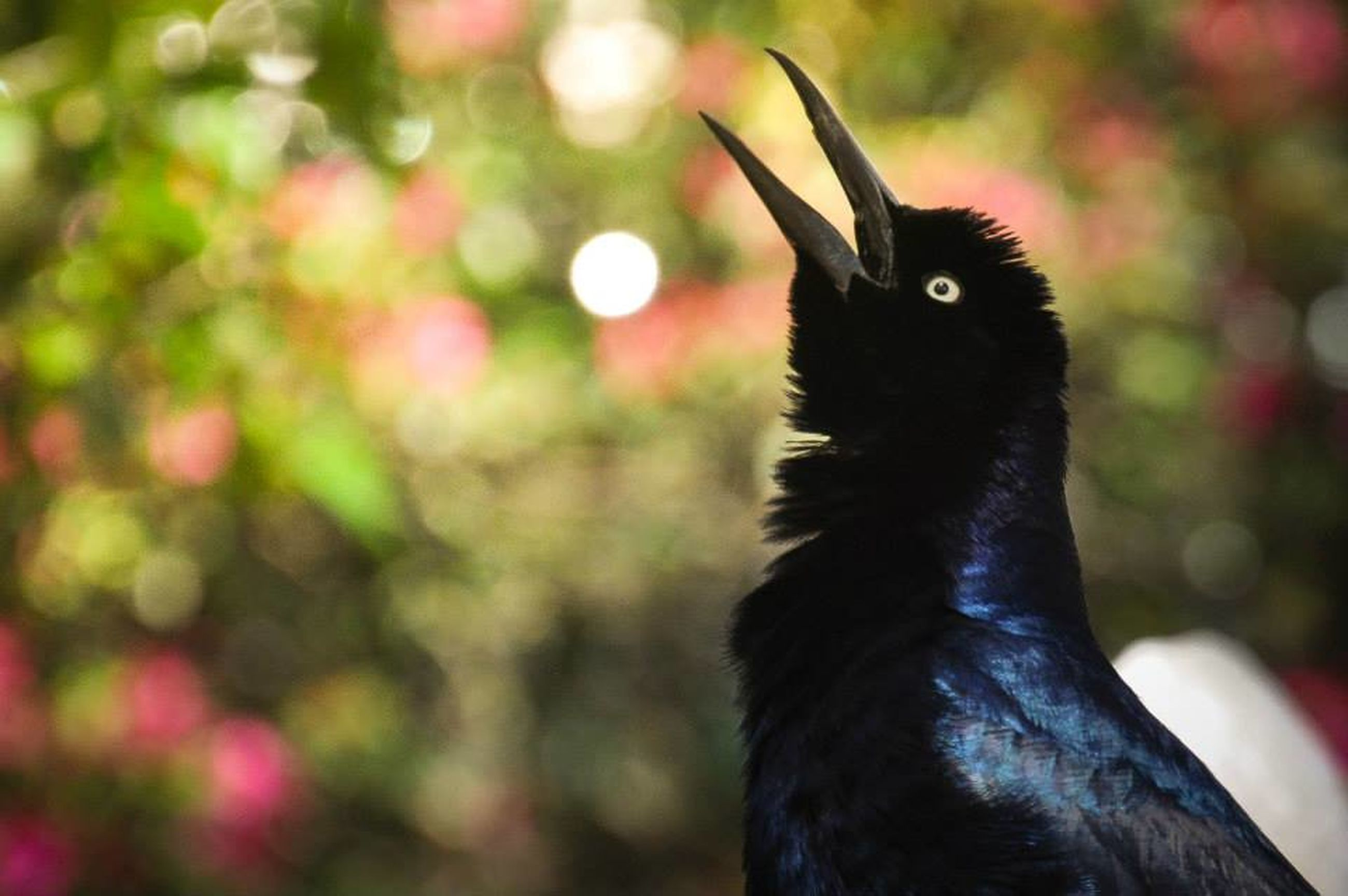animal themes, one animal, focus on foreground, bird, close-up, animal head, animals in the wild, animal body part, wildlife, black color, beak, looking away, nature, domestic animals, outdoors, no people, animal eye, day, alertness, portrait