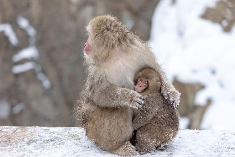 Monkey with young animal sitting on snow