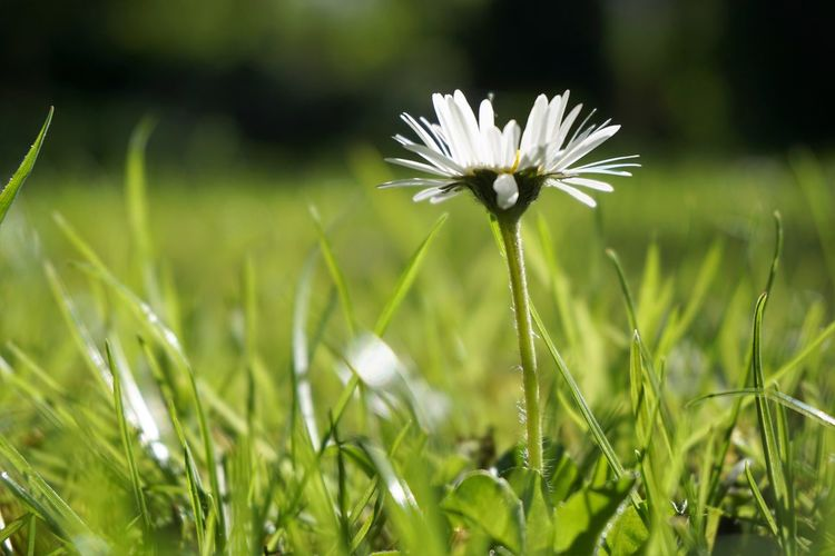 Plant Freshness Flower Growth Flowering Plant Fragility Vulnerability  Beauty In Nature Field Close-up Nature Land Selective Focus Green Color Grass White Color Day Inflorescence Petal Flower Head Outdoors No People Springtime Dandelion Seed Blade Of Grass