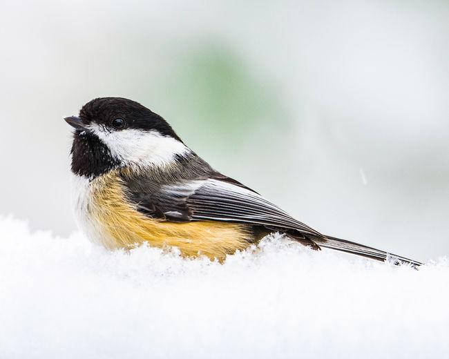 Close-up of bird perching on snow