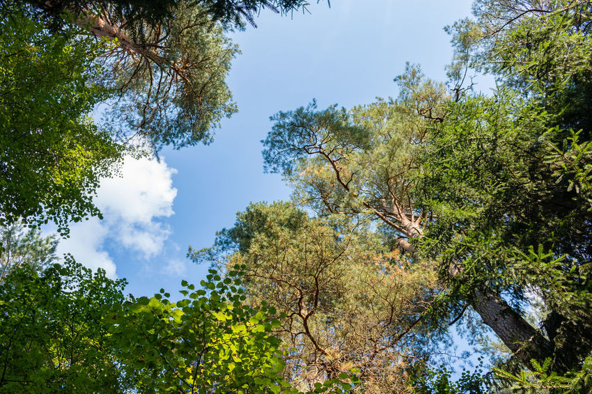 Treetops, Russia, Polenovo Cloud Pine Russia Russia. Polenovo Tula Oblast Beauty In Nature Day Foliage Forest Growth Leaf Low Angle View Museum Nature No People Outdoors Polenovo Scenics Sky Strakhovo Tranquility Tree