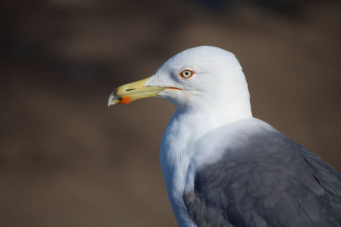 Animal Themes Animal Wildlife Animals In The Wild Beak Bird Clean Close-up Day Focus On Foreground Focused Grey Gull Mcu Nature No People One Animal Outdoors Perching White Head