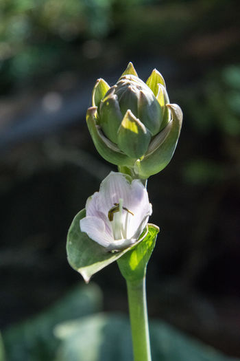 Close-up of fresh green rose flower bud