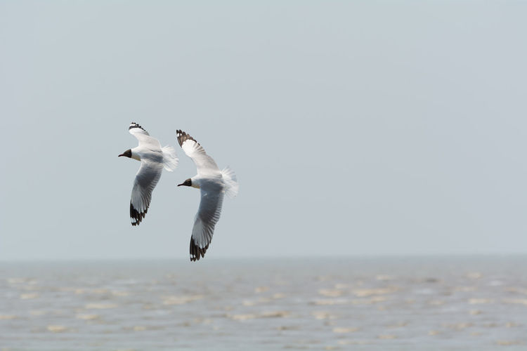 Two seagulls flying over sea.