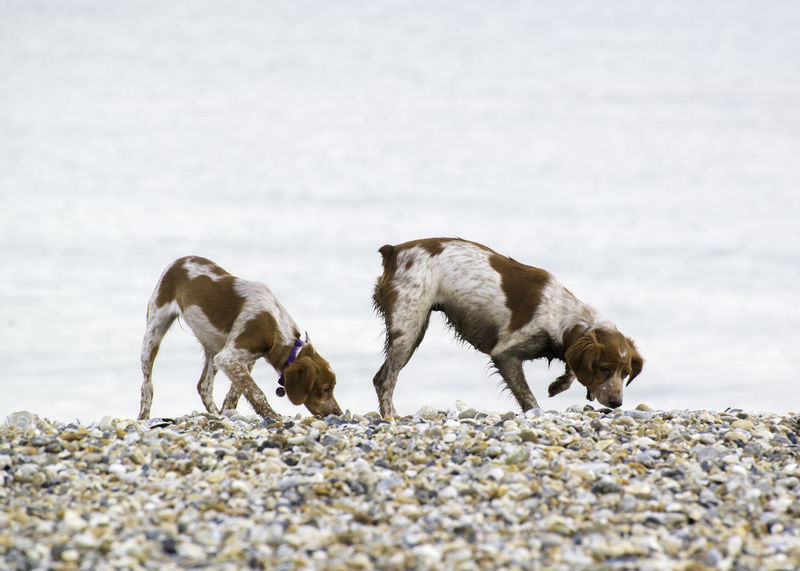 Brittany Mum and Pup on beach Breton Brittany Brittany Spaniel Animal Themes Beach Brittany On Beach Brittany Spaniels Day Dog Dog On Beach Dog On Seat Domestic Animals Epagneul Breton French Dog Mammal Nature No People Outdoors Two Animals Young Animal
