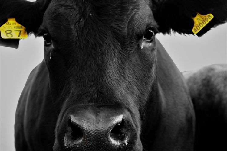 EyeEm Selects Scotland Canon Canon 700D Domestic Animals One Animal Animal Themes Mammal Pets Cow No People Close-up Day Indoors  Portrait Farm Farm Life Cattle Blackandwhite Yellow Tag