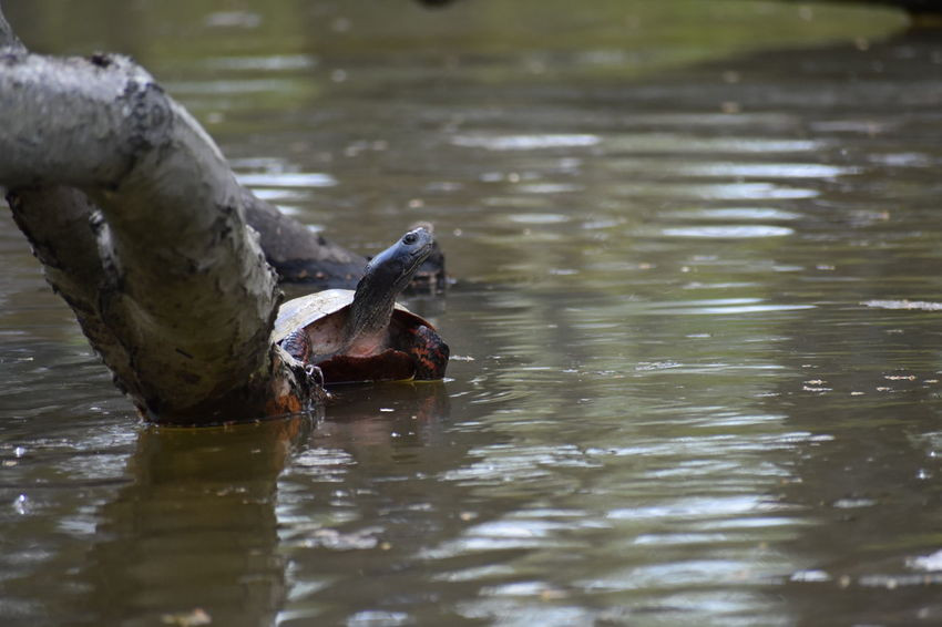 Animal Animal Themes Animal Wildlife Animals In The Wild Cooter Day Lake Nature No People One Animal Painted Turtle Reflection Selective Focus Slider Swimming Turtle Water Waterfront