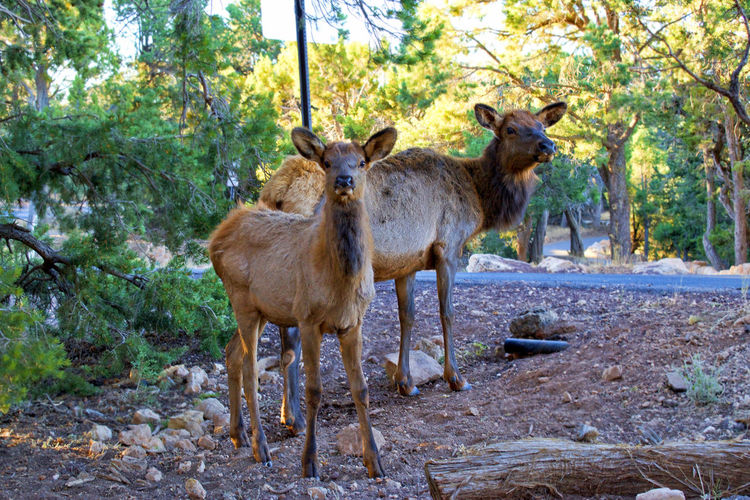 Elk Grand Canyon Nature America Animals Animals In The Wild Day Nature Outdoors Wild