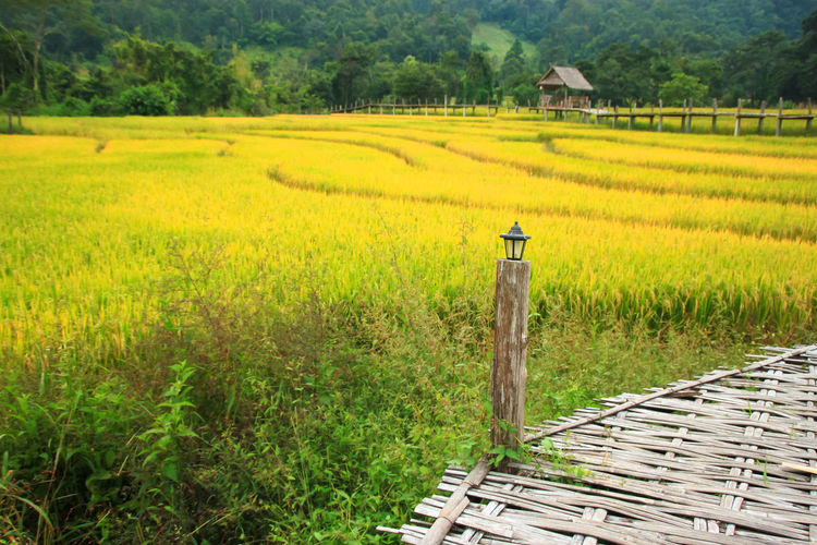 Beautiful field in nature. Natural Outdoors Thailand Countryside Environment Nature Rural Bamboo Bridge Travel Landscape Season  Rice Paddy Irrigation Equipment Terraced Field Tree Rural Scene Mountain Agriculture Rice - Cereal Plant Cereal Plant Field Plantation Cultivated Land Hut Horticulture Agricultural Field Farm Cultivated Crop