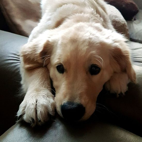 Dog Domestic Animals Golden Retriever Day