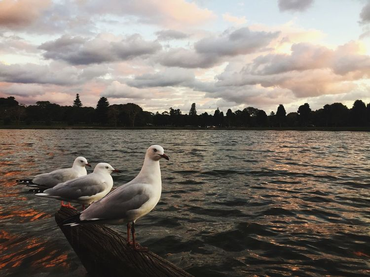 Centennial Park, Sydney | IG: @sayinghello Animals In The Wild Beauty In Nature Bird Birds Centennial Park  Cloud - Sky Cloudporn Lake Nature Outdoors Scenics Seagulls Sky Sunset Swan Sydney VSCO Water The Great Outdoors - 2017 EyeEm Awards Perspectives On Nature