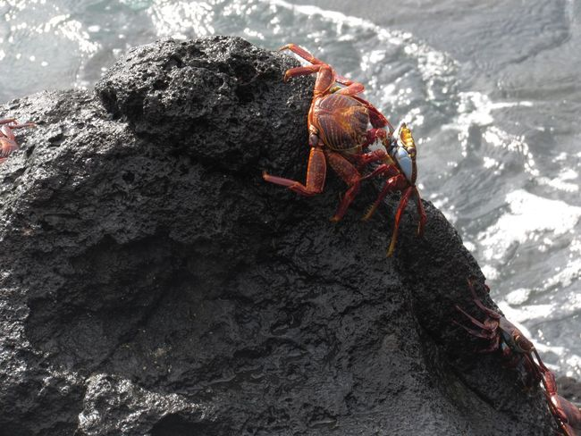 Galápagos red crabs fighting Galapagos Crab Crustacean Animal Themes Red Sea Life Hermit Crab Day Nature Animal Wildlife Animals In The Wild Close-up Sea Outdoors An Eye For Travel Go Higher