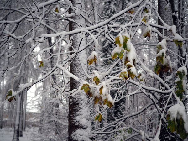 Woodland walk Beautiful Nature Snow Trees Snow Branches Winter WoodLand Beauty In Nature Beauty In Nature Fragility Leaf Nature Snow Snow Covered Snow Forest Snow Leaves Snow Woods Snowing Tranquility Tree Trees And Nature Trees And Sky Weather White Color Winter Winter Trees