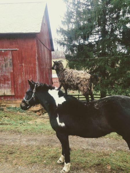 Horse Goat Funny Trick  Barn Farm Animal Themes Mammal Tree Day