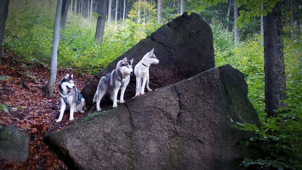 Siberian Husky Dog Husky Snow ❄ Animal Nature Mushing Mountain Huskies First Eyeem Photo