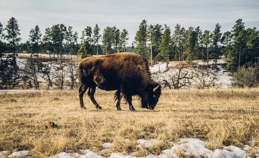 Full length of an american bison grazing on field