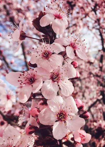 Amazing almond tree!! 🌸✨ Flower Nature Springtime Beauty In Nature Fragility Pink Color Blossom Close-up Freshness Tree Almond Tree Petal My Favorite  Millennial Pink Spring Has Arrived IPhoneography Contemplation