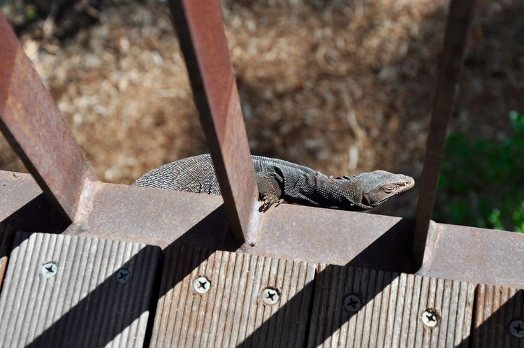 Australian lizard hanging off pedestrian bridge in King's Park in Perth, Australia Animal Animal Themes Animals In The Wild Australia Australian Bridge Grey Hanging Isolated King's Park Lizard Metal Nature One Animal Outdoors Overhead View Perth Precarious Reptile Risky Scales Shadow Western Australia Wild Wildlife