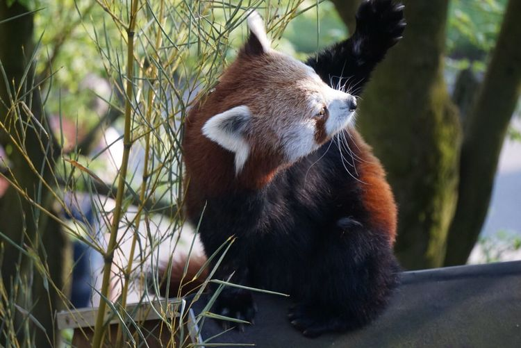 I really love red pandas. Animal Themes One Animal Close-up Outdoors Redpanda Animals Wildlife & Nature Nature Animal Photography Beauty In Nature Beautiful Nature Beautiful Animal Neweyeemhere EyeEmNewHere