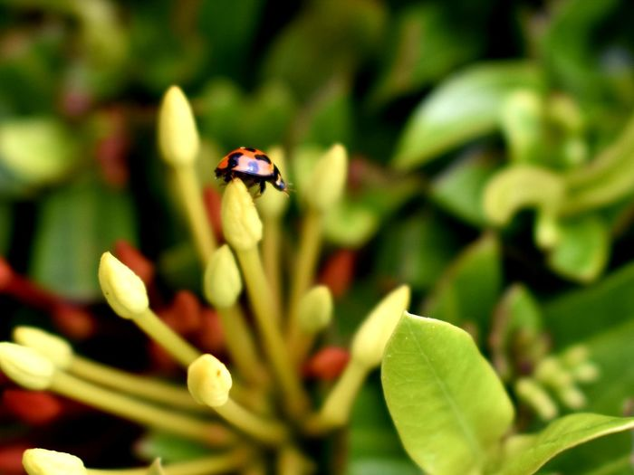 Insect Animals In The Wild Animal Themes Animal Wildlife Nature Flower Plant Pollination Ladybug Outdoors Day Beauty In Nature Fragility Leaf Bee EyeEmNewHere EyeEm Best Shots - Nature Twoworldsphotography Twoworldspr Puerto Rico