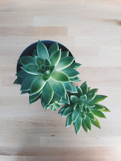 High angle view of succulent plant on table