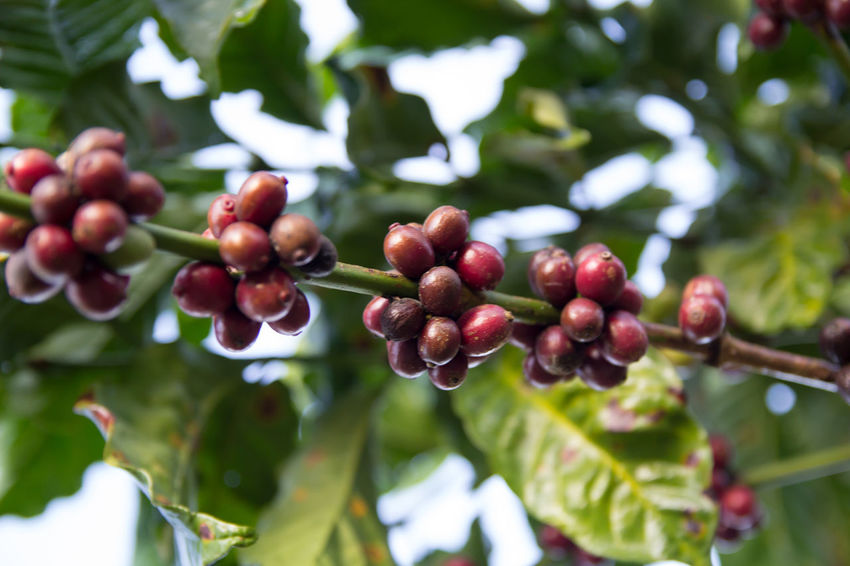Coffee Coffee Bean Coffee Tree Coffee Plantation Coffee Leaves Raw Coffee Bean Raw Coffee Growth Food And Drink Plant Food Healthy Eating Leaf Fruit Tree Plant Part Focus On Foreground Berry Fruit Freshness Close-up Beauty In Nature Day Nature Red No People Green Color Wellbeing Ripe Outdoors EyeEmNewHere EyeEm Best Shots EyeEm Nature Lover EyeEm Selects EyeEm Gallery Eyeem Coffee Lover ForTheLoveOfPhotography Lao Coffee Lao Trip Paksong Laos