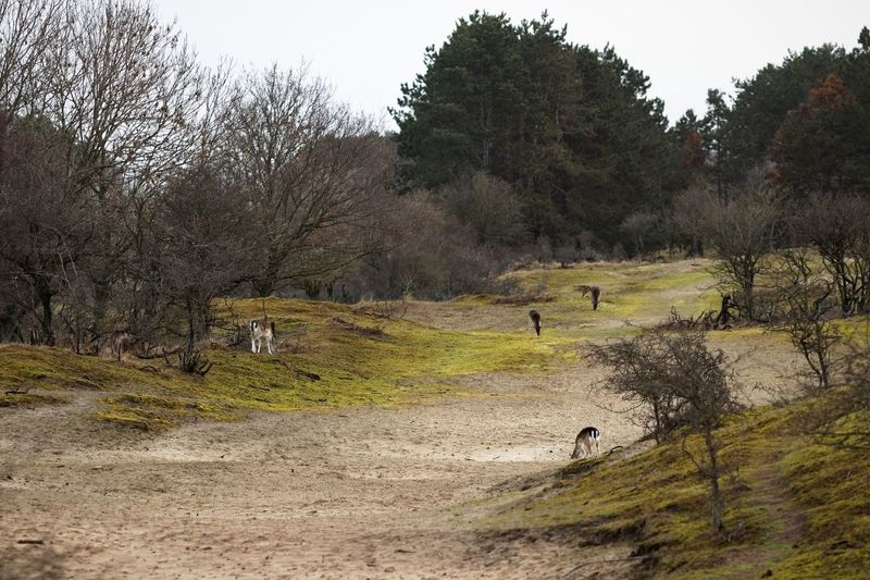 Alone But Not Lonely Deer Dunes Of Holland Tree Plant Land Nature Day Field Growth Landscape Beauty In Nature Animal Group Of Animals