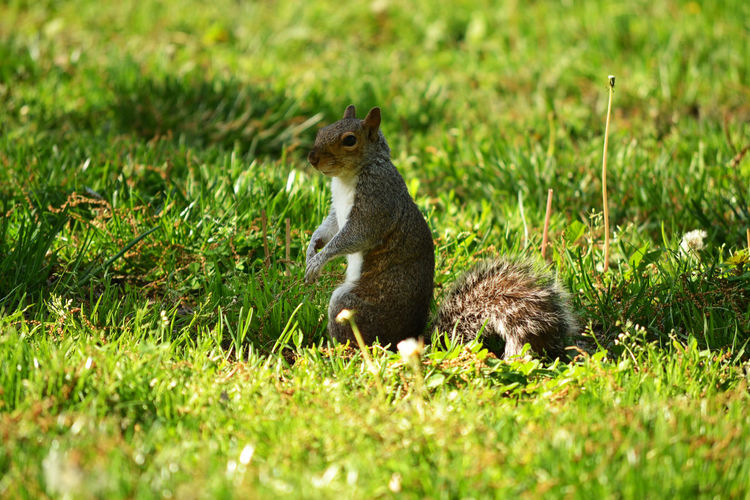 DC Squirrel by Kesi J. Marcus Animal Themes Animal Wildlife Animals In The Wild Close Up Day Grass Green Color Mammal Nature No People One Animal Outdoors Squirrel Washington, D. C. Pet Portraits The Still Life Photographer - 2018 EyeEm Awards