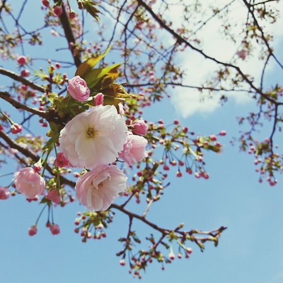 Flower Springtime Pink Color Beauty In Nature Cherry Blossom Sakura2017 Sakura Trees Sky Day Sanny_day Happy Time Holiday Happy Yokohama AndroidPhotography Smartphonephotography Walking Around