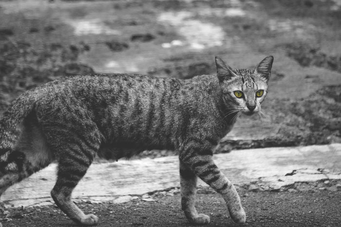 Cat, black, white, and yellow Cat Blackandwhite Photography Black And White Blackandwhite Kucing Black & White Selective Color Mood Mood Captures Animal Animal Photography Hewan INDONESIA EyeEmNewHere Eye One Animal Animal Themes Mammal Animal Wildlife Animals In The Wild Feline Day Outdoors No People Nature Leopard