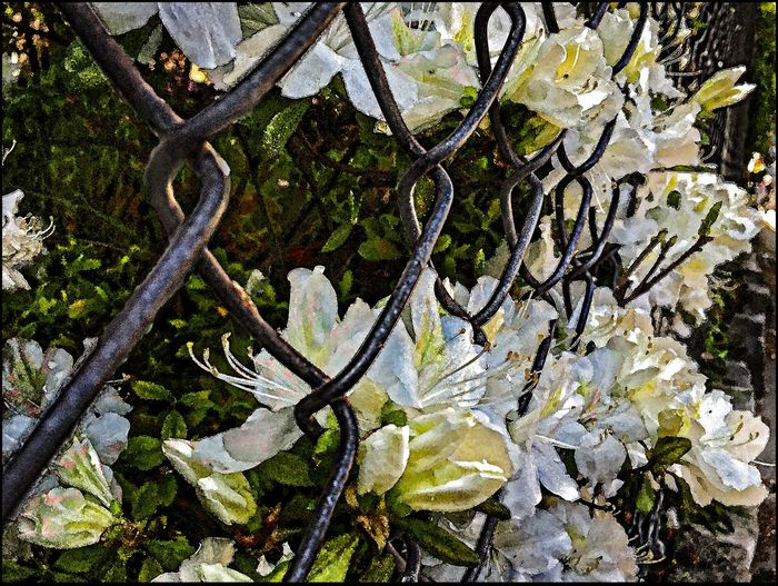Don't Fence Me In - 4/3116 Azaleas In Bloom Creative Blending Of Images W/ Layers In PS CC2016 EyeEm Best Edits EyeEm Best Shots EyeEm StreetPhotography, NYC IPhone Creative Edits W/ Snapseed IPhoneography 6s My Point Of View W/ HDR
