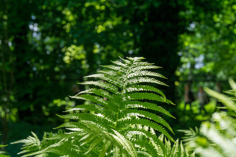 Sunlight falls on green Ferns in the Forest. View on growing Ferns. Botanical Chlorophyll Colors Colourful Fern Ferns Forest Fresh Green Growing Growth Leaf Leaves Morning Light Nature Outdoor Photosynthesis Plants Polypodiopsida Seeds Spores Sunlight Vascular
