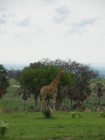 Giraffe at Murchison Falls National Park Giraffe Uganda  Africa African Safari Animal Animal Themes Animal Wildlife Animals In The Wild Environment Giraffes Grass Herbivorous Mammal Nature No People One Animal Plant Safari Safari Animals Tree Vertebrate