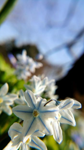 Beauty In Nature Blooming Close-up Day Dortmund Flower Flower Head Focus On Foreground Fragility Freshness Growth In Bloom Nature No People Outdoors Petal Plant Pollen Rombergpark Scilla Selective Focus Skilla Stamen White White Color