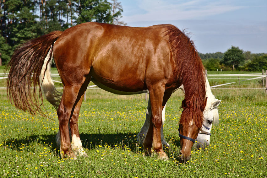 Animal Themes Brown Day Domestic Animals Field Grass Grazing Green Color Herbivorous Horse Mammal Nature No People One Animal Outdoors Paddock Pasture Sky Standing Tree
