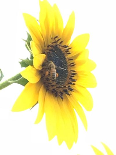 Beauty and the bee Beauty No Edit No Filter Photography No Filter, No Edit, Just Photography Outside Photography Life Cycle Of A Flower Growth Bee Bumblebee On Flower Bumblebee Bloom Sunflower Flower Flowering Plant Yellow Freshness Petal Flower Head Plant Nature Close-up Pollination Sunflower Growth Beauty In Nature No People Vulnerability  Insect Pollen Fragility