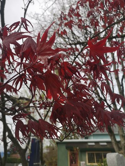 Close-up of red flowering tree during autumn