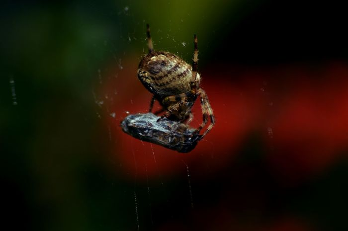 Animal Animal Themes Beauty In Nature Close-up Day Death Of A Fly Focus On Foreground Garden Spider Life And Death In Nature Nature No People Orb Web Spider Outdoors Selective Focus Shroud Spider The Spider And The Fly Wildlife Fine Art Photography