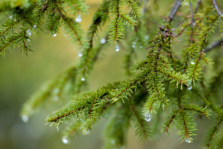 Green Beauty In Nature Bokeh Botany Branch Close-up Dof Evergreen Tree Focus On Foreground Freshness Green Color Growth Needle - Plant Part Outdoors Pine Tree Plant Selective Focus Spruce Tree Water Droplets